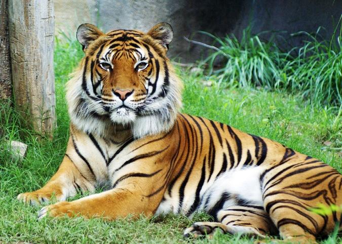 Habitat Harimau Malaya Dipelihara Elak Kepupusan