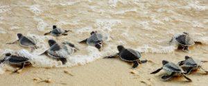Anak-anak penyu pulang ke pantai Imej Kredit: TourismMalaysia